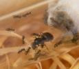 Blick ins Lasius-Niger Nest_2