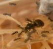 Blick ins Lasius-Niger Nest_3