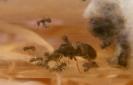 Blick ins Lasius-Niger Nest_4