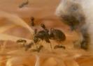 Blick ins Lasius-Niger Nest_5