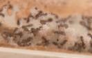 Blick ins Lasius-Niger Nest in einer Ameisenfarm_4