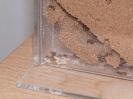 Blick ins Myrmica-Rubra Nest_10