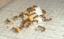 Blick ins Myrmica-Rubra Nest_1