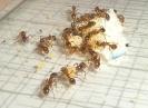 Blick ins Myrmica-Rubra Nest_2
