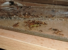 Blick ins Myrmica-Rubra Nest_8