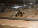 Blick ins Myrmica-Rubra Nest_9